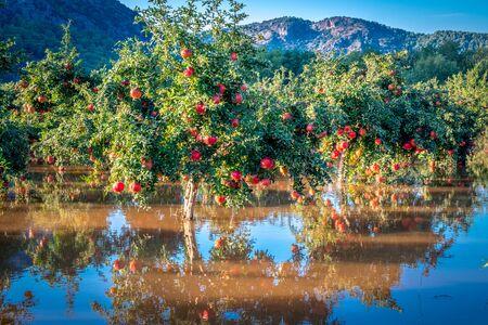 Turkey Pomegranates Garden in water after rain
