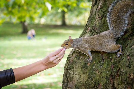 gray squirrel eats walnut from womans hand.