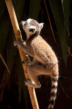 The young ring-tailed lemur (Lemur catta) climbs on the bamboo trunk