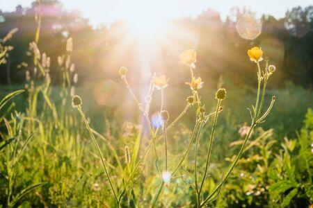 Rayos de sol al atardecer a través de la hierba y flores en el campo. Rusia, Vladimir