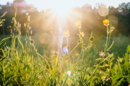 Sun rays at sunset through the grass and flowers in the field. Russia, Vladimir