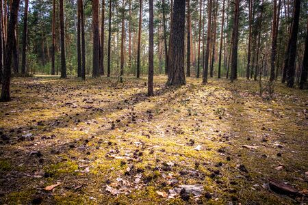 Pine forest with the last of the sun shining through the trees. park in Russia, Vladimir city.