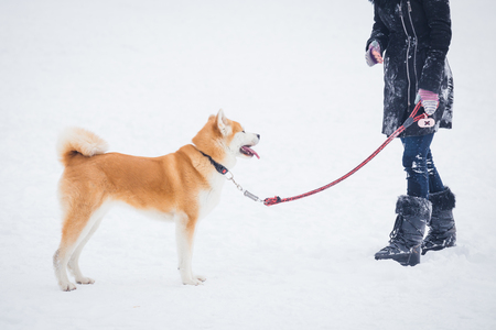 Portrait of japanese akita dog with female owner on snowy day. 版權商用圖片