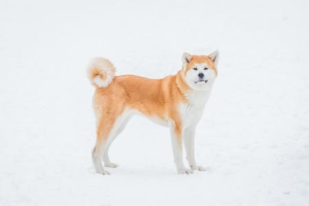 Akita dog enjoying on snowy day.