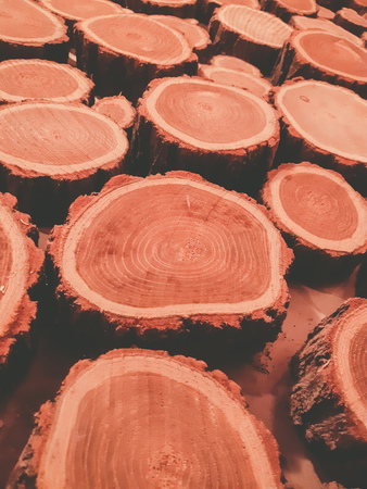 Close up of wooden stumps. Round cut down trees with annual rings texture.