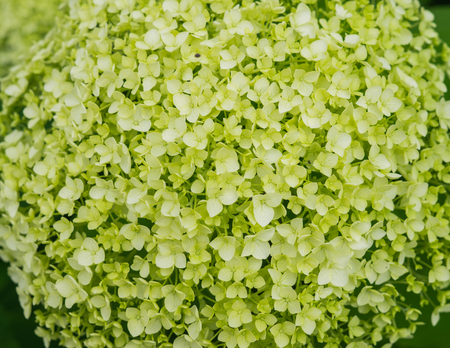 white hydrangea flowers with a greenish tint, a gentle romantic floral background Фото со стока