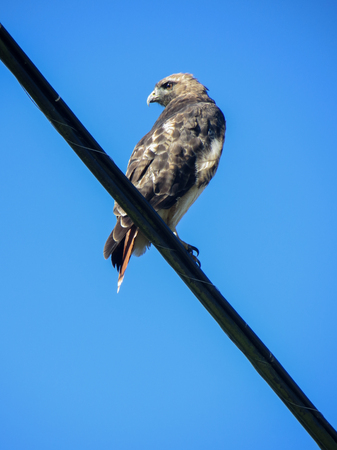 A wild hawk watches around, sitting on an electric wire. Stock Photo