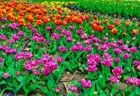 Multicolored tulips in the city park in Latvia. Stock Photo