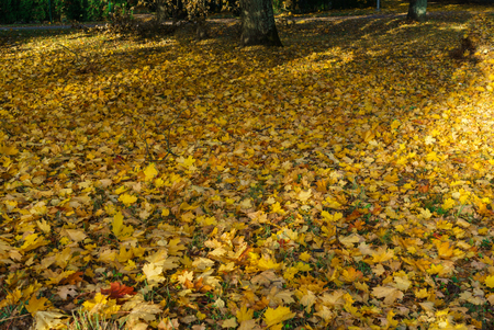 Yellowed maple leaves on green grass in a city park. Foto de archivo