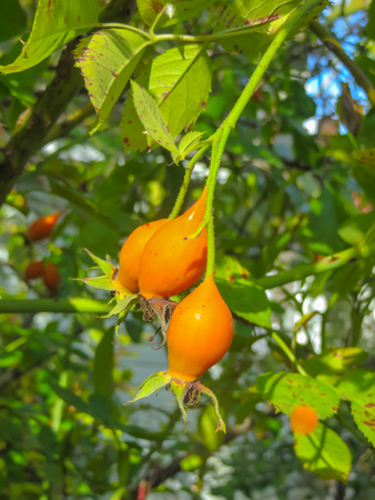 Vitamin hips on the branches. A large supply of vitamin C 免版税图像