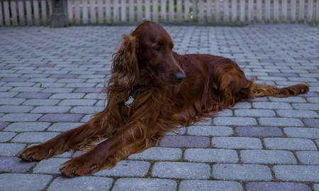 Red dog Irish Setter looks closely that they will tell her Banco de Imagens