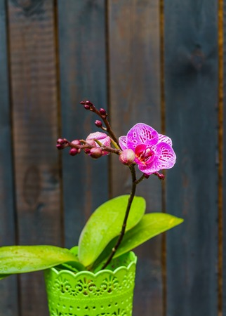 A pink orchid in a pot,against a background of dark boards. Natural background and design element.