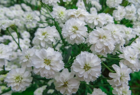 Summer flowers.Beautiful different white flowers in the garden . Banque d'images