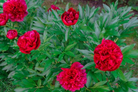 Luxurious buds of burgundy peony in the garden.