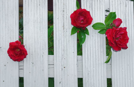 beautiful red roses that tend to the sun through the fence. Stock Photo