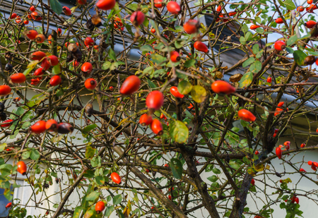 Wild rose bush covered with fruits. Huge supply of vitamin C