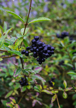 Black wild berries on the branch, after the rain Stock Photo