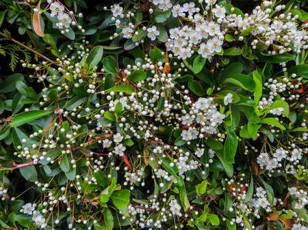 Leaves and flowers of Laurustinus, Viburnum tinus. It is a species of flowering plant in the family Adoxaceae, native to the Mediterranean area of Europe and North Africa 写真素材