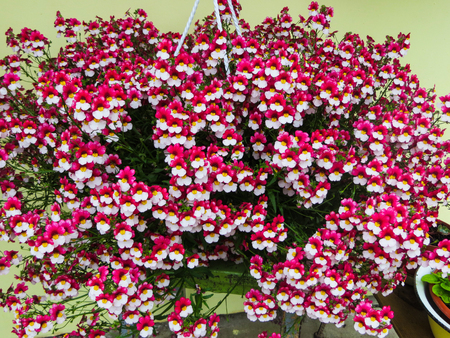 Pink Flowers A Huge Bush Of Lobelia Flowers In A Flower Hanging