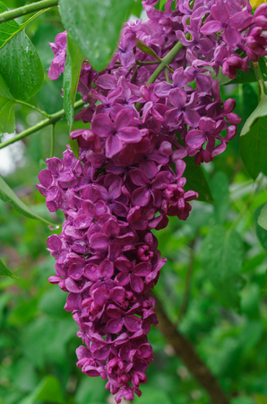 Beautiful lilac with droplets of water after the rain.