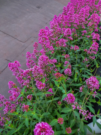 Pink flowers of red valerian, which is called jupiter beard