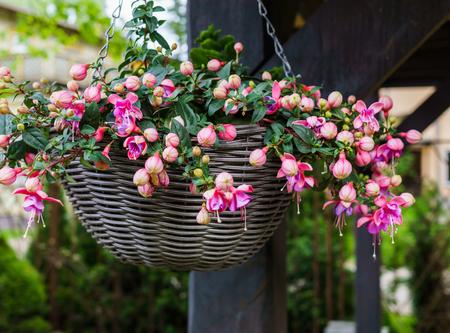 Schöne fuchsiafarbene Blumen hängen vom Topf, im Garten