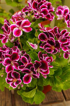 Popular motley geranium flowers for garden decoration.Common geraniums plants. Standard-Bild