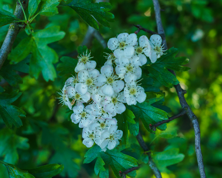 Early spring. White clusters of hawthorn flowers.