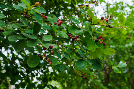 Irgi berries on the branches. Delicious, vitamin berries on the tree in summer