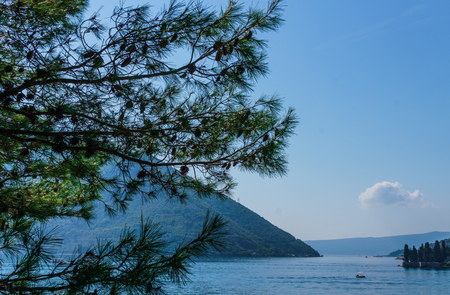 The branches of the seaside pine strewn with cones on the shore of the Bay of Kotor in Montenegro,