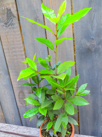 Bay leaf bush grown in a flower pot Stock Photo