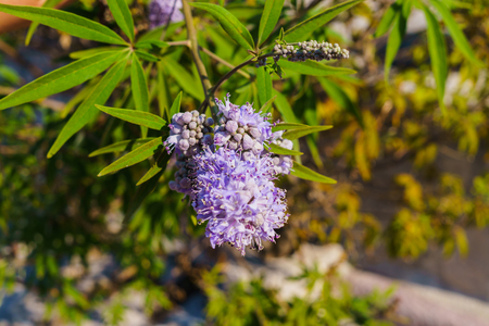 A handful of flowers Ceanothus on a branch of a bush in the garden.