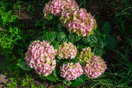 Beautiful Bush of a pink hydrangea in the spring in the garden. Stock Photo