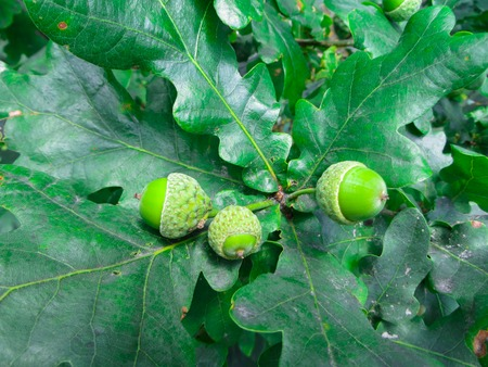 green acorns on the branches of oak