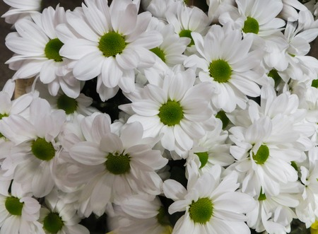 Beautiful white chrysanthemums in a vase, as a background image. Reklamní fotografie