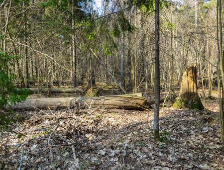 Windscherm van omgevallen bomen in het vroege voorjaar in het bos
