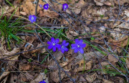The first purple flowers of the Hepatika make their way through last year's leaves in the forest, in early spring