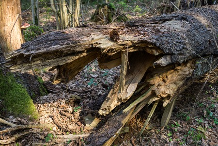 Fallen trees in the forest often, in early spring 스톡 콘텐츠