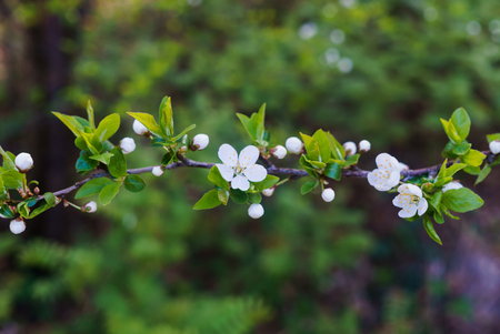 Swollen flower buds together with snow-white cherry-plum flowers against the background of spring greenery