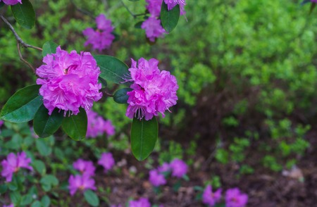 The first spring flowers of lilac rhododendrons. Early spring