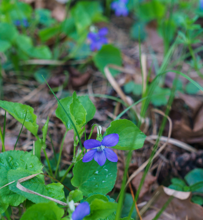 Lilac flowers of the forest violet tricolor after rain.