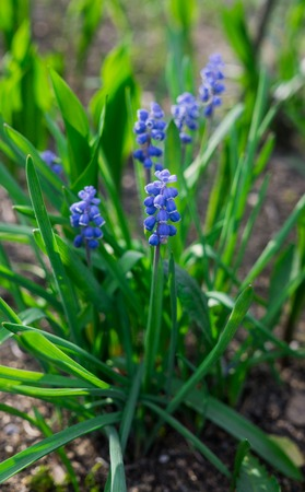 Beautiful blue Muscari flowers in early spring on a flower bed in the garden 免版税图像