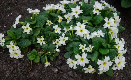 Colorful spring primroses flowers. rimula in spring garden. White primrose Stock Photo