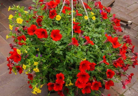 Red petunia flowers in a flower pot