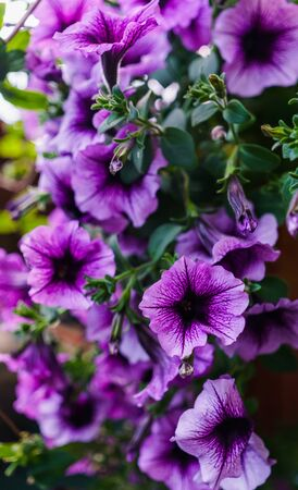 Bouquet of purple petunias in a flower pot