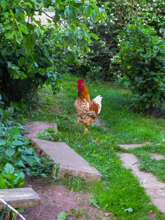 Beautiful rooster on the background of the nature of a rural farm