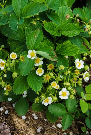 Flowering bushes of strawberries in the garden in the garden. Abundant flowering strawberries Фото со стока
