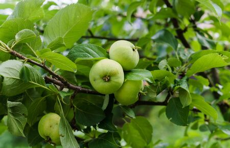 Green apples ripen on the branches of an apple tree