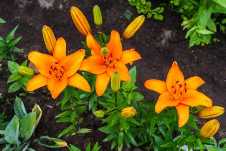 Blossoming orange lilies with a garden in the village