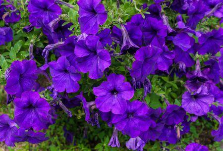 A large petunia bush with beautiful purple flowers Stockfoto